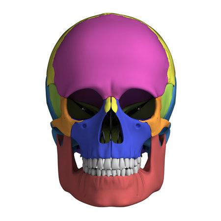 Illustrazione di rendering 3D - cranio anatomia umana