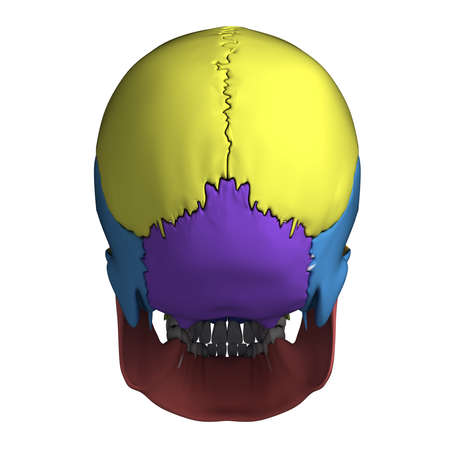 3d rendered illustration - human skull anatomy illustration
