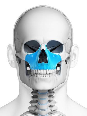 3D Gerenderten Illustration - Menschlichen Schädel Anatomie ...