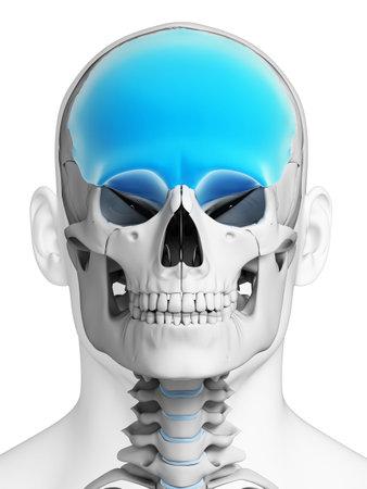 health education: 3d rendered illustration - frontal bone