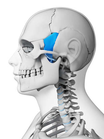 3d rendered illustration - sphenoid bone illustration