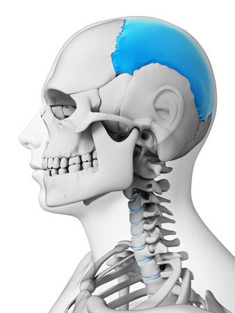 parietal: 3d rendered illustration - parietal bone