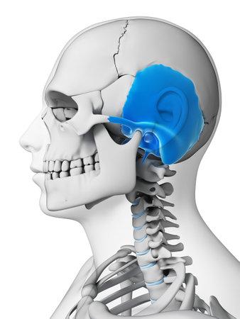 temporal: 3d rendered illustration - temporal bone