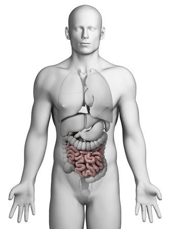 3d rendered illustration - small intestine Stock Illustration - 18070702
