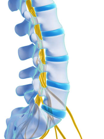 intervertebral: 3d rendered illustration - spinal cord