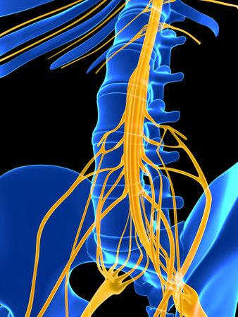 colonna vertebrale: Illustrazione di rendering 3D - midollo spinale