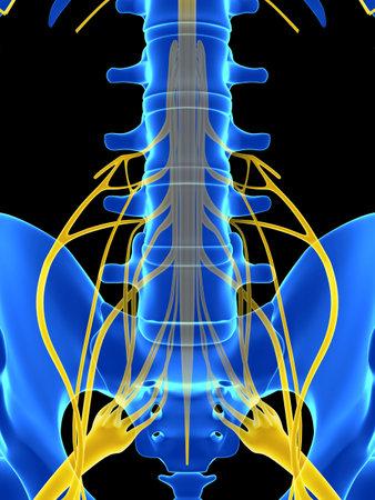 medula espinal: Ilustración 3d rendered - médula espinal