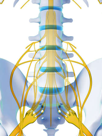 intervertebral disc: 3d rendered illustration - spinal cord