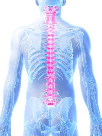 medula espinal: Ilustración 3d rendered - columna vertebral humana Foto de archivo