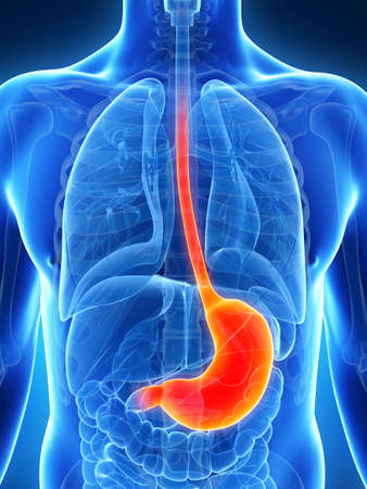 stomach: 3d rendered illustration of the male stomach Stock Photo