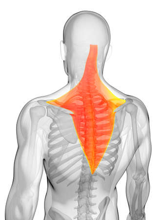 trapezius: 3d rendered illustration - trapezius muscle
