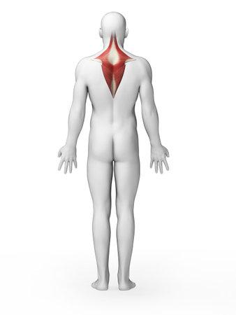 trapezius: 3d rindi� la ilustraci�n - m�sculo trapecio