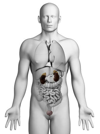 3d rendered illustration - urinary system illustration