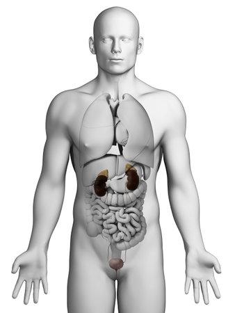 urinary: 3d rendered illustration - urinary system