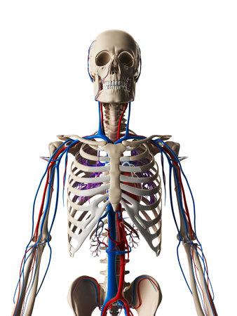 vascular: 3d rendered illustration - vascular system