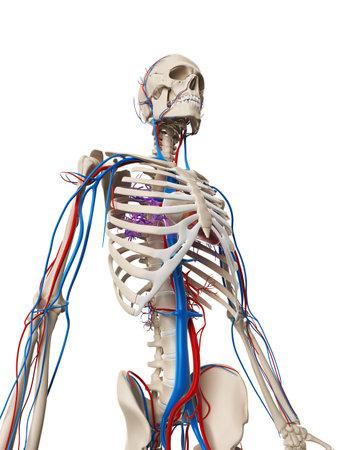 anatomy skeletal: 3d rendered illustration - vascular system