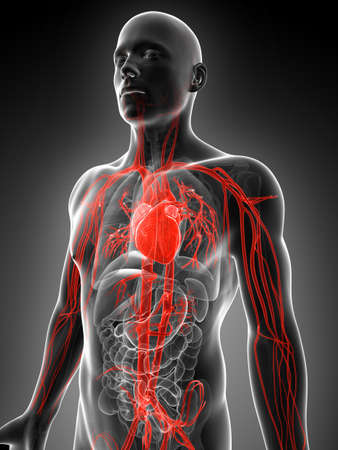 blood flow: 3d rendered illustration of the human vascular system
