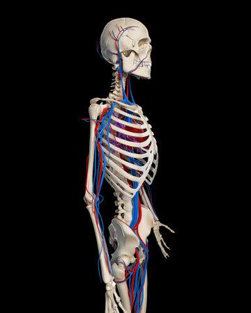 vasos sanguineos: Ilustración 3d rendered - sistema vascular