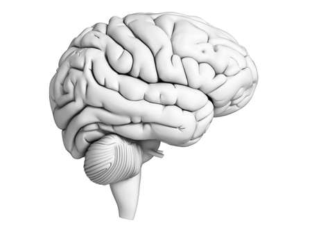 brains: 3d rendered illustration - white brian