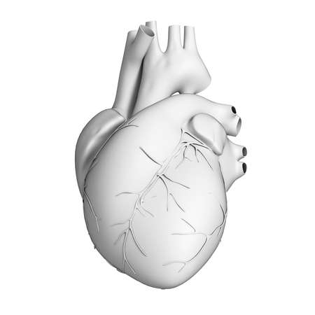 anatomy heart: 3d rendered illustration - white heart Stock Photo