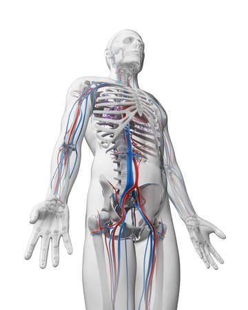 3d rendered illustration - vascular system illustration