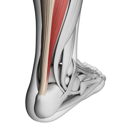 3d rendered illustration of the achilles tendon Stock Illustration - 18448347