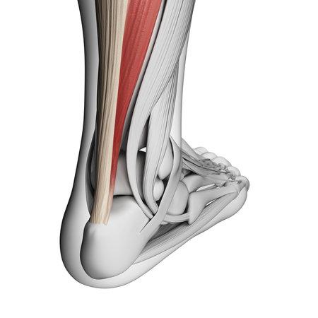tendon: 3d rendered illustration of the achilles tendon