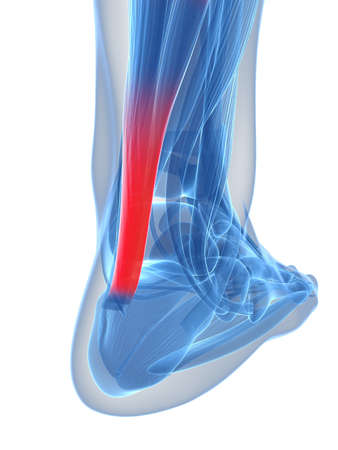 3d rendered illustration of the achilles tendon illustration