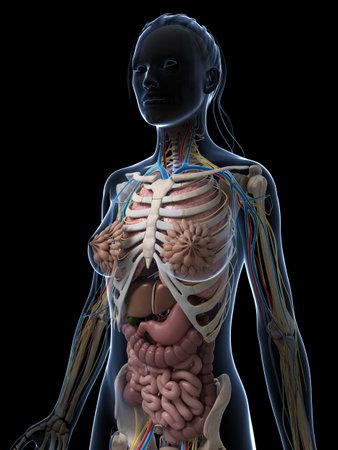human liver: 3d rindi� la ilustraci�n de la anatom�a femenina Foto de archivo