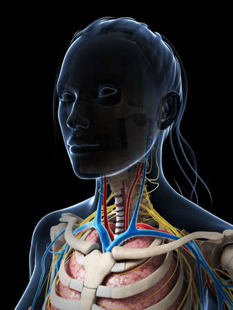 3d rendered illustration of the female anatomy Stock Illustration - 18448851
