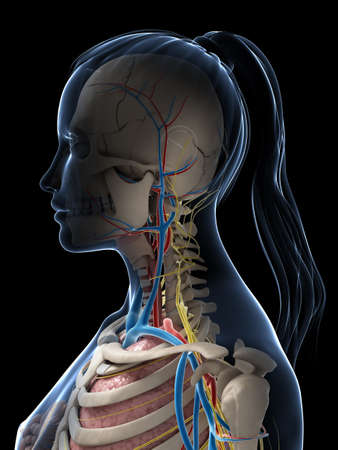 appendix: 3d rendered illustration of the female anatomy Stock Photo