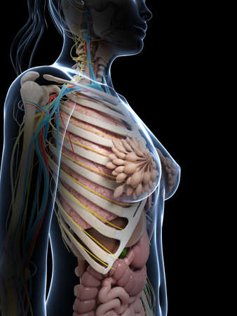 3d rendered illustration of the female anatomy Stock Illustration - 18451366