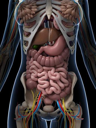 trzustka: 3d Å›wiadczonych ilustracji kobiecej anatomii