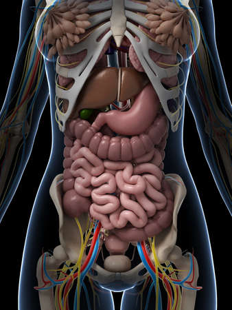es�fago: 3d rindi� la ilustraci�n de la anatom�a femenina Foto de archivo