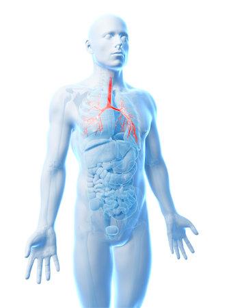 bronchi: 3d rendered illustration of the human bronchi Stock Photo