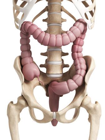 3d rendered illustration of the human large intestine Stock Illustration - 18448808