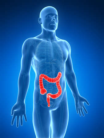 intestino grueso: 3d rindió la ilustración del intestino grueso humano