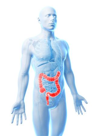 3d rendered illustration of the human large intestine Stock Illustration - 18448245