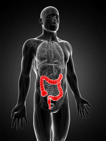 3d rendered illustration of the human large intestine Stock Illustration - 18448605