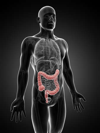 3d rendered illustration of the human large intestine Stock Illustration - 18448592