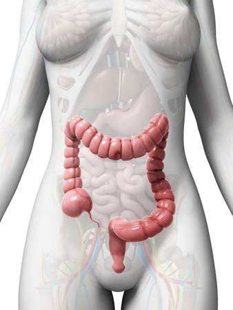 intestino: 3d rindi� la ilustraci�n del intestino grueso Foto de archivo