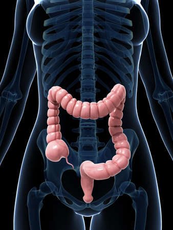 3d rendered illustration of the large intestine Stock Illustration - 18451404