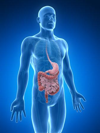 intestin: 3d illustration rendu de l'appareil digestif