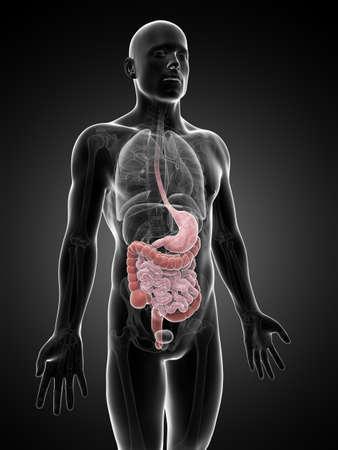 from small bowel: 3d rendered illustration of the digestive system