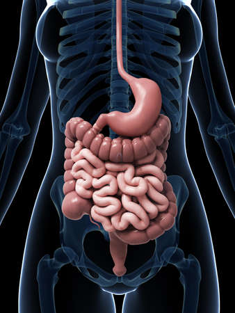 small intestine: 3d rendered illustration of the female digestive system