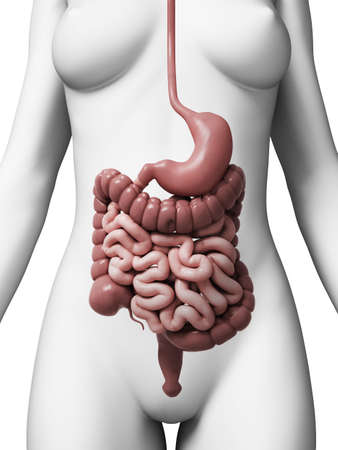 intestino: 3d rindió la ilustración del aparato digestivo femenino