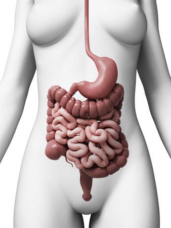 colon: Illustrazione di rendering 3D del sistema digestivo femminile Archivio Fotografico