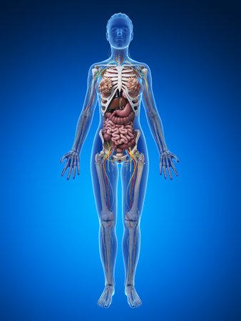 cuerpo femenino: 3d rindi� la ilustraci�n de la anatom�a femenina Foto de archivo
