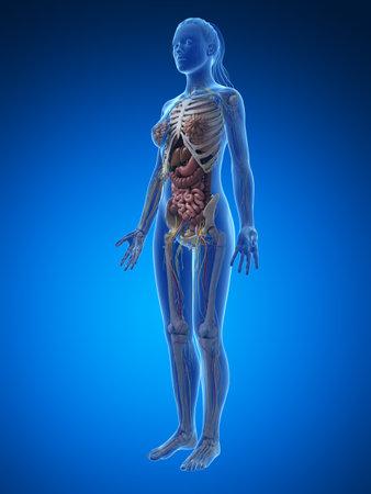 여성의 해부학의 3d 렌더링 된 그림