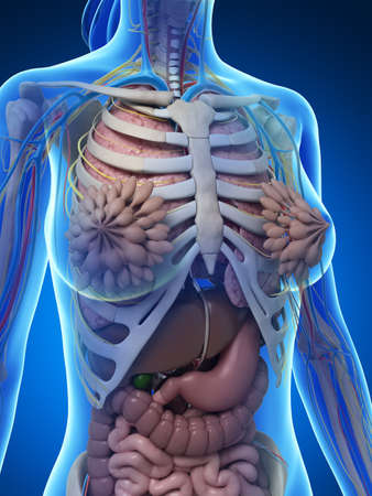 hepatic: 3d rendered illustration of the female anatomy Stock Photo